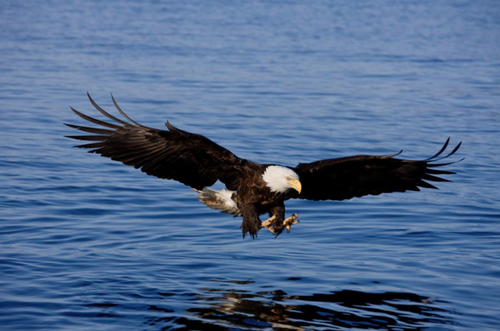 """Poetry: """"The Bald Eagle: America's Reality"""""""